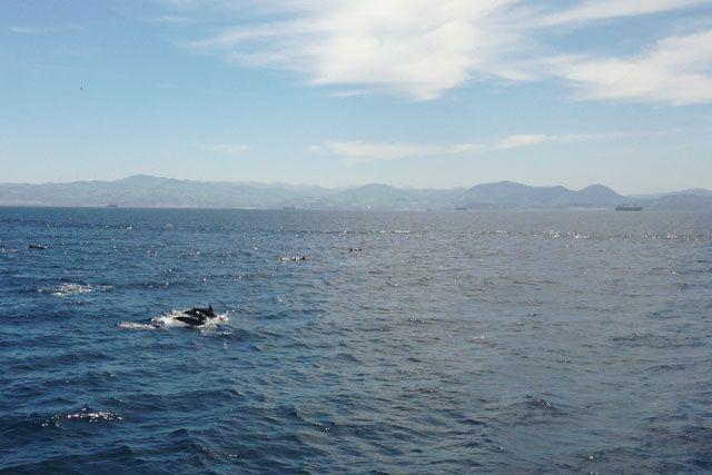 Los delfines son muy simpáticos y se dejan ver con mucho salero en la gran mayoría de avistamientos.
